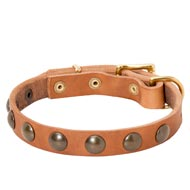 Leather Amstaff Collar with Brass Half-Ball Studs
