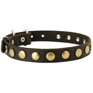 Leather Amstaff Collar with Brass Circles for Fashionable Walking