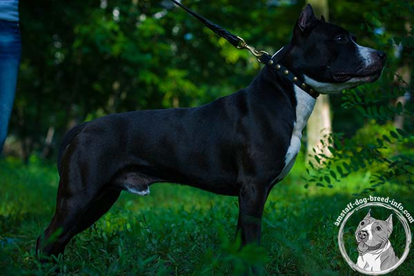 Flexible Amstaff leather collar
