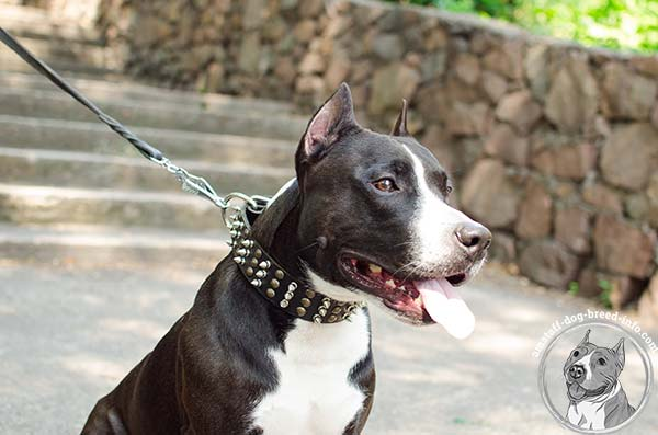 Amstaff leather collar adorned with nickel spikes and brass half-ball studs