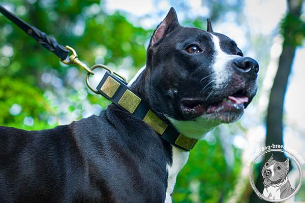 Amstaff black leather collar with strong quick release buckle for perfect control