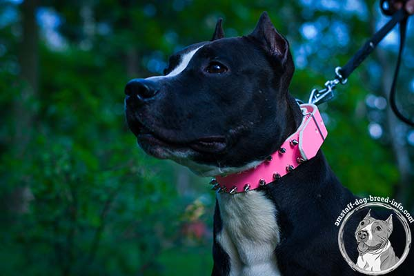 Amstaff pink leather collar with rust-proof spikes for daily activity