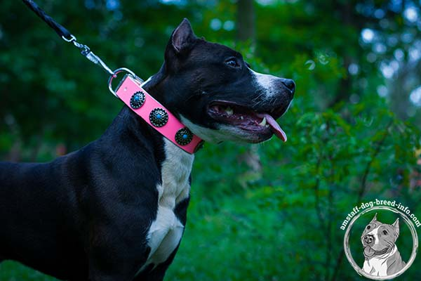 Amstaff pink leather collar with durable fittings for any activity