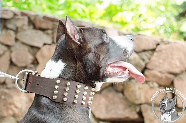 Amstaff leather collar comes with rustless hardware
