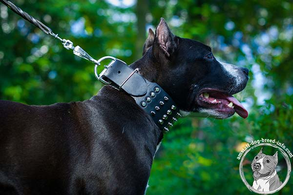 Amstaff black leather collar extra wide with studs for safe walking