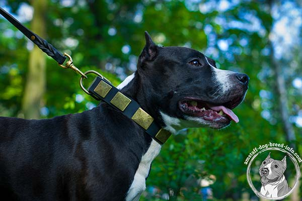 Amstaff black leather collar wide adorned with studs for walking