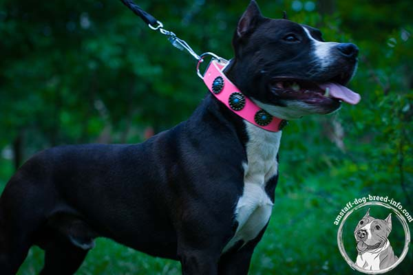 Amstaff pink leather collar with corrosion resistant nickel plated fittings for perfect control