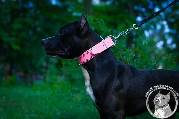 Amstaff pink leather collar wide with spikes for better comfort