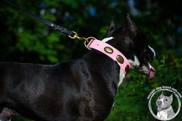 Amstaff pink leather collar wide studded for safe walking