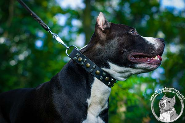 Amstaff brown leather collar adjustable  adorned with spikes and studs  for any activity