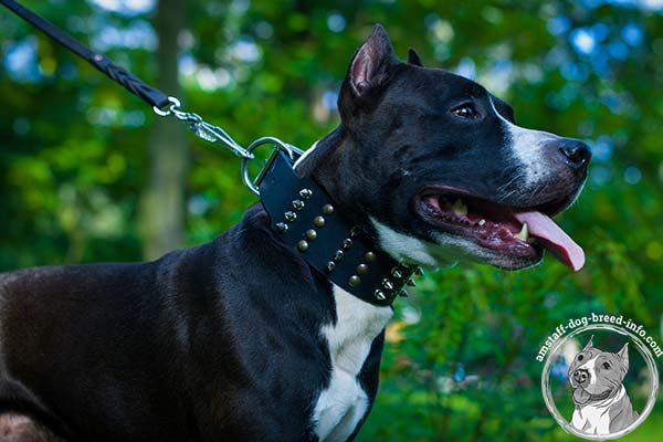 Amstaff black leather collar wide with traditional buckle for better comfort