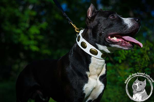 Amstaff white leather collar painted studded for stylish walks