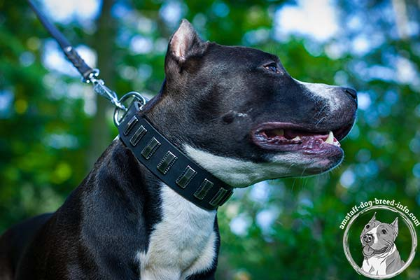Amstaff black leather collar of lightweight material adorned with plates for basic training