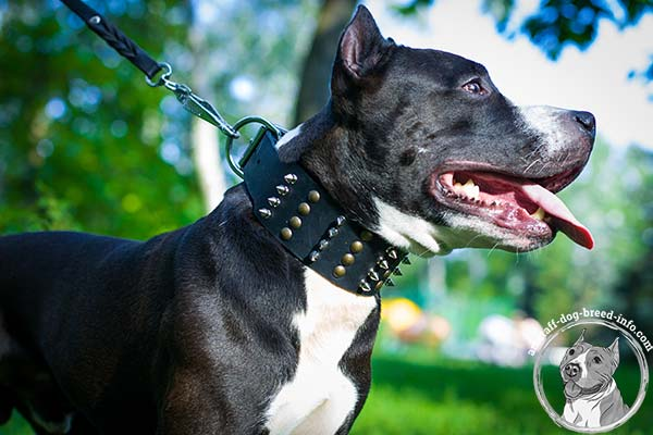 Amstaff leather collar of the highest quality