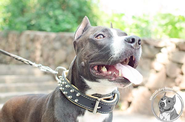 Amstaff black leather collar padded with Nappa leather with spikes for daily activity