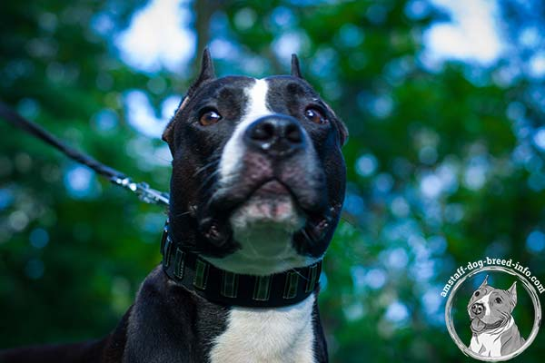 Amstaff black leather collar snugly fitted with d-ring for leash attachment for quality control