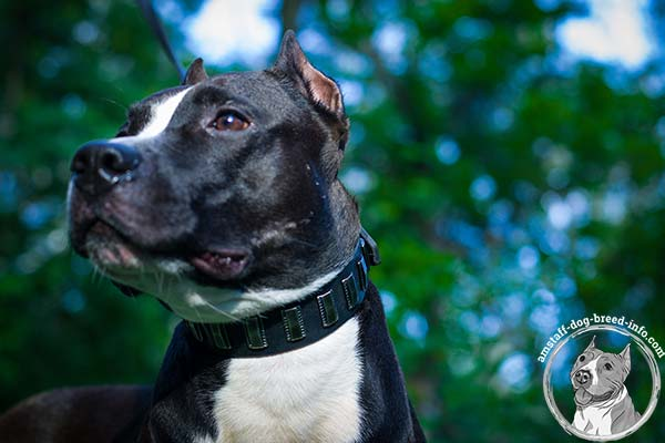 Amstaff leather collar for easy control