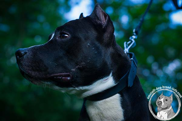 Amstaff leather collar for great pet control
