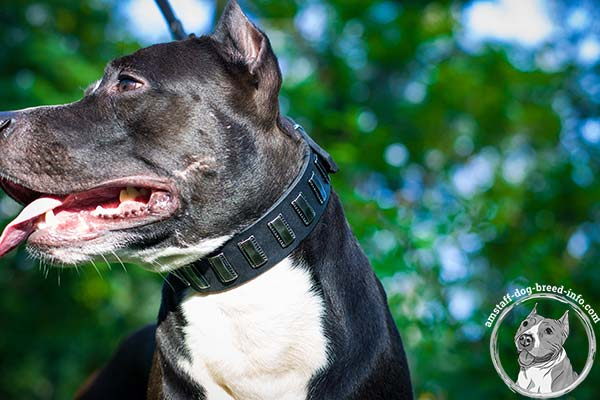 Amstaff black leather collar with non-corrosive fittings for better comfort