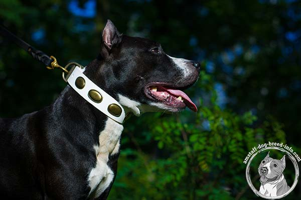 Amstaff white leather collar with rust-resistant fittings for improved control