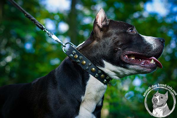 Amstaff black leather collar wide studded for stylish walks