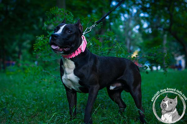 Amstaff pink leather collar with rust-resistant nickel plated hardware for walking