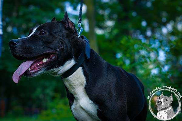 Amstaff black leather collar with durable nickel plated hardware for basic training
