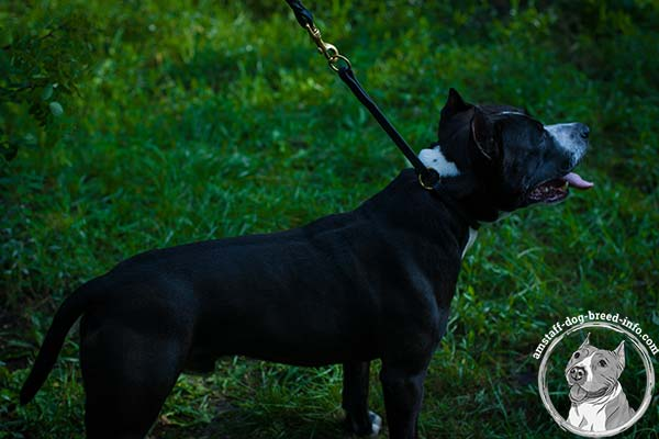 Amstaff leather collar with reliable fittings for utmost comfort