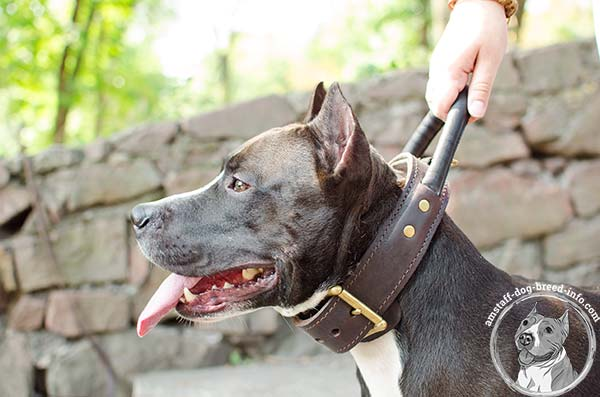 Amstaff black leather collar with strong handle for safe walking