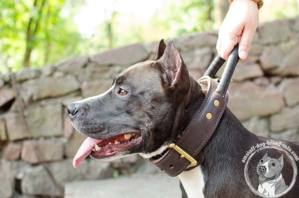 Amstaff leather collar with quick grab handle