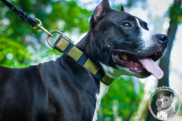 Amstaff black leather collar with durable hardware for improved control