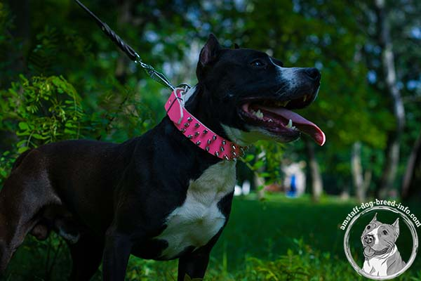 Amstaff pink leather collar with reliable fittings for quality control