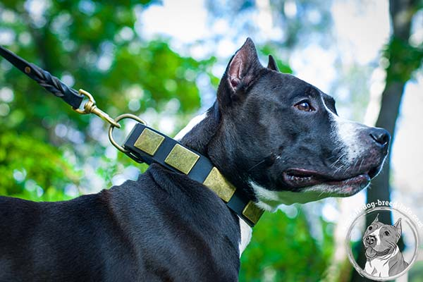 Amstaff leather collar studded with golden-like plates