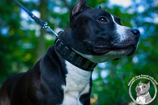 Amstaff leather collar adorned with nickel plated decorations