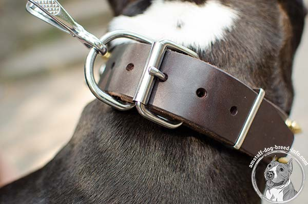 Amstaff leather collar with nickel plated fittings