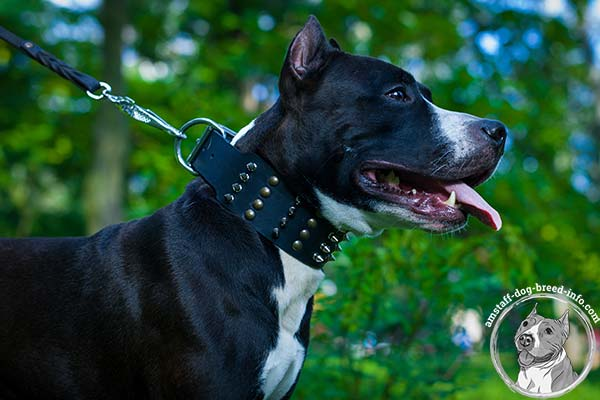 Amstaff black leather collar with non-corrosive nickel plated hardware for basic training