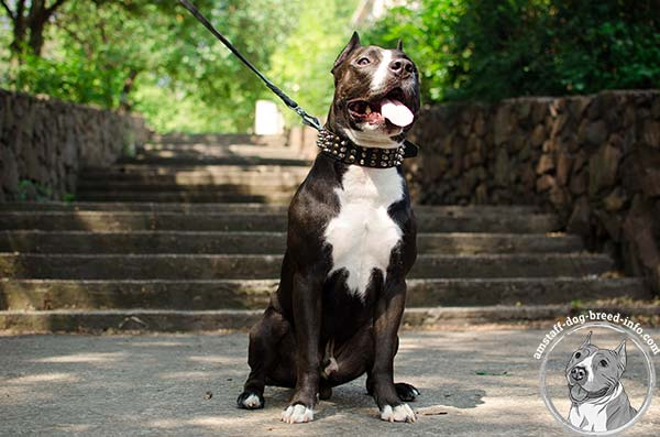 Amstaff leather collar for trendy outfit
