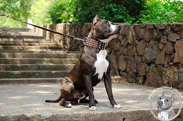 Training Amstaff leather collar