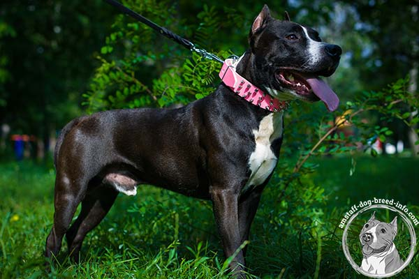 Pink Amstaff leather collar of comfy design