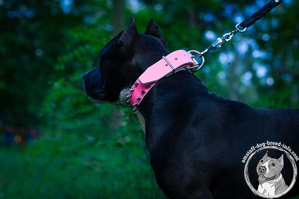 Pink Amstaff leather collar with nickel plated fittings