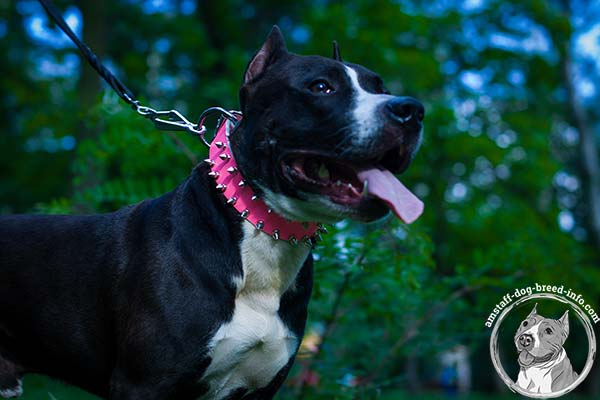 Spiked pink leather Amstaff collar
