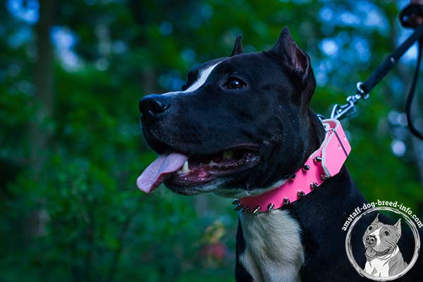 Pink leather Amstaff collar with smooth edges