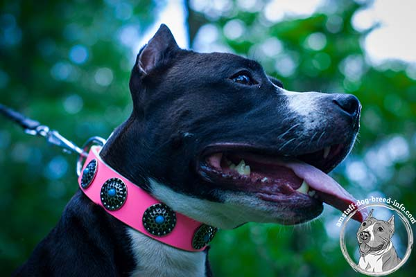 Pink Amstaff collar studded with round circles