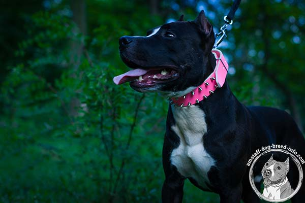 Pink Amstaff leather collar for pretty females