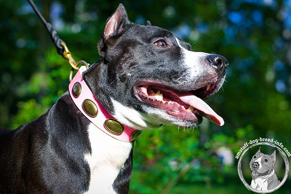 Pink Amstaff collar with golden-like oval studs