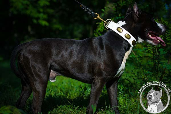 White Amstaff collar with rust-resistant hardware