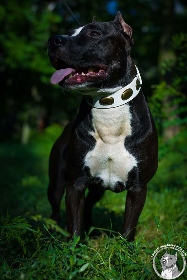White Amstaff collar with riveted oval plates