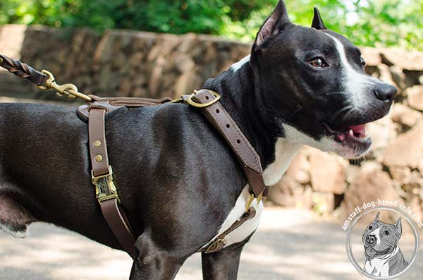 Amstaff leather harness with flexible straps