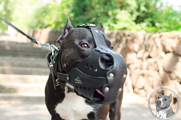 Amstaff leather basket muzzle with strong nickel plated hardware for walking