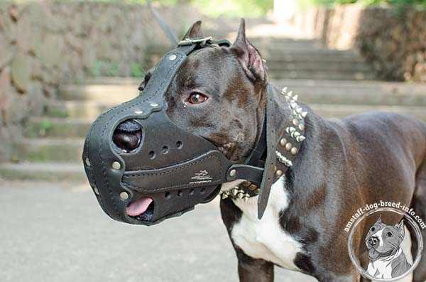 Amstaff leather muzzle for service dog